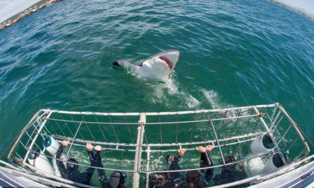 shark-diving